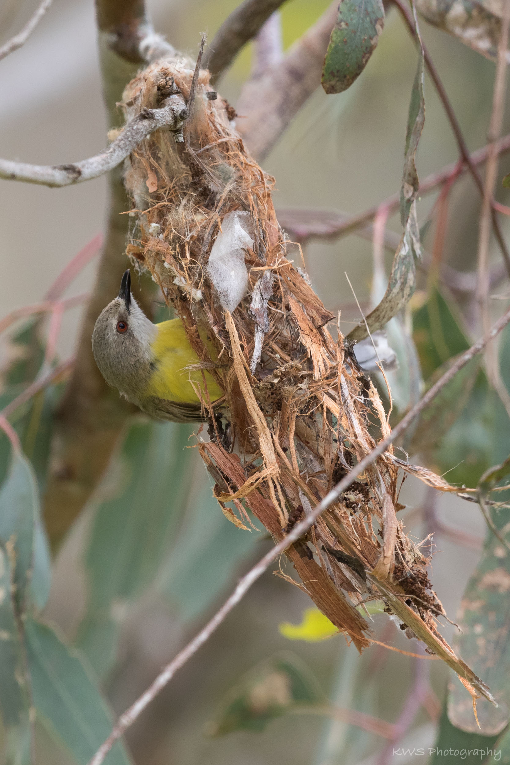 White-throated Gerygone (Gerygone olivacea)