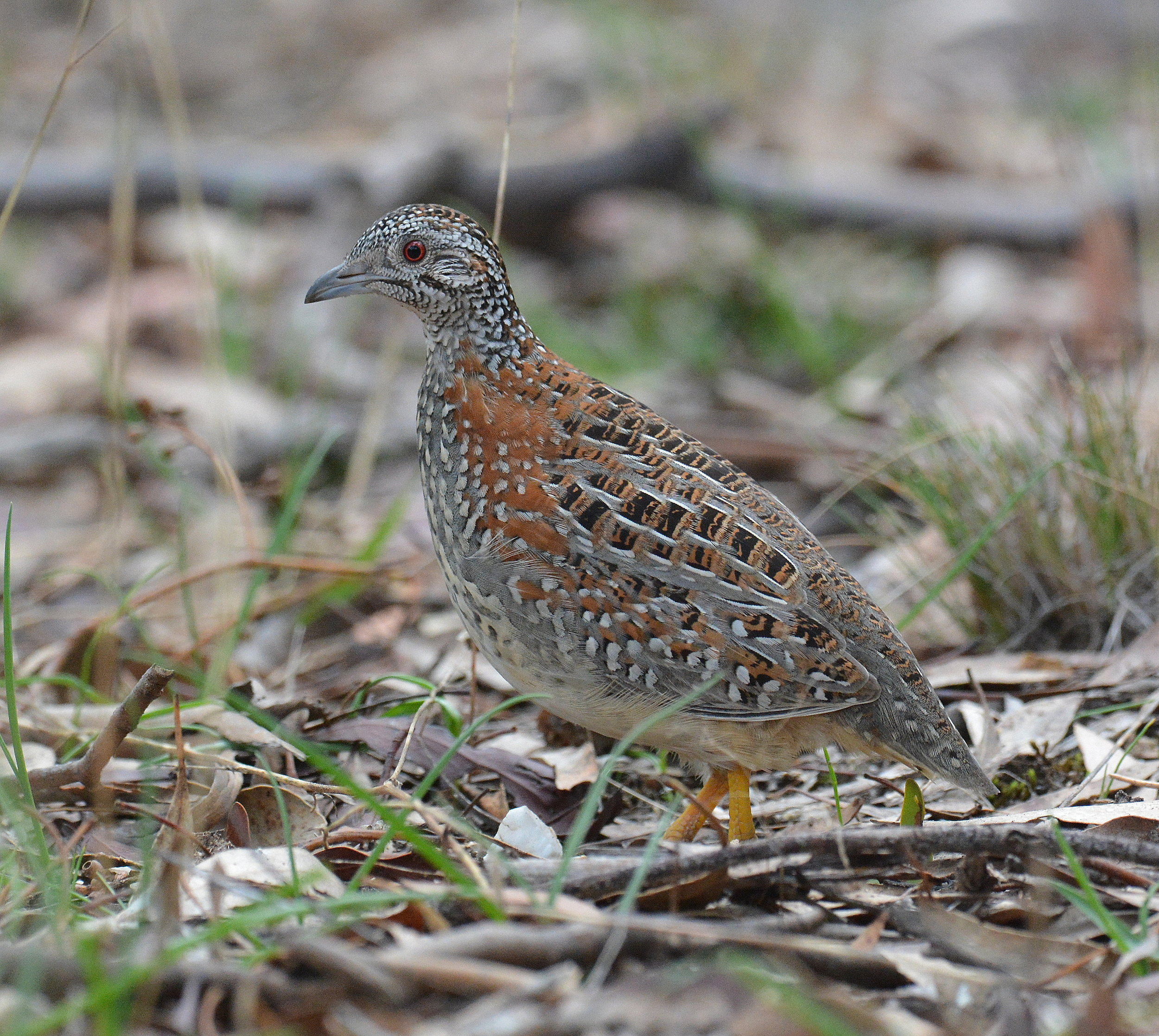 Painted Button-Quail. Clunes. Vic. 18-06-2017.