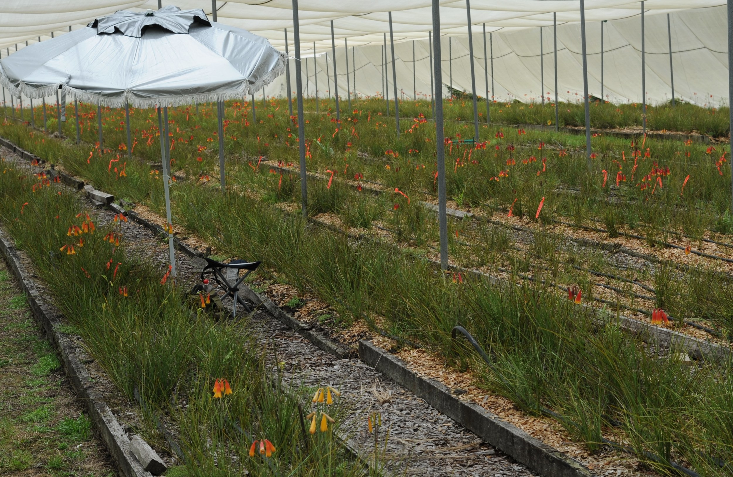 Christmas Bells Research: Flowering under cultivation near Pt Macquarie, NSW