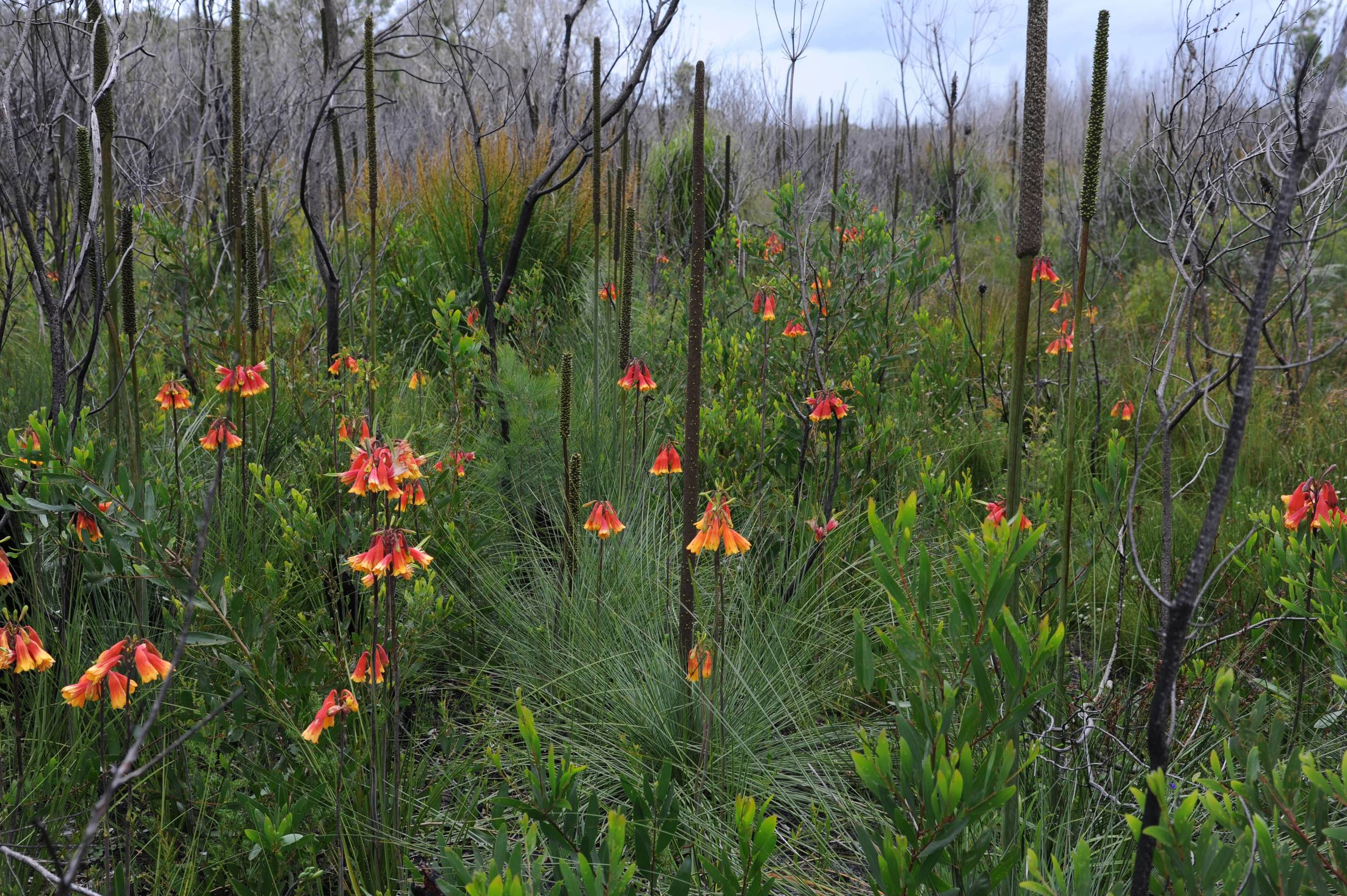 Christmas Bells Research: Flowering near Dunbogan, NSW