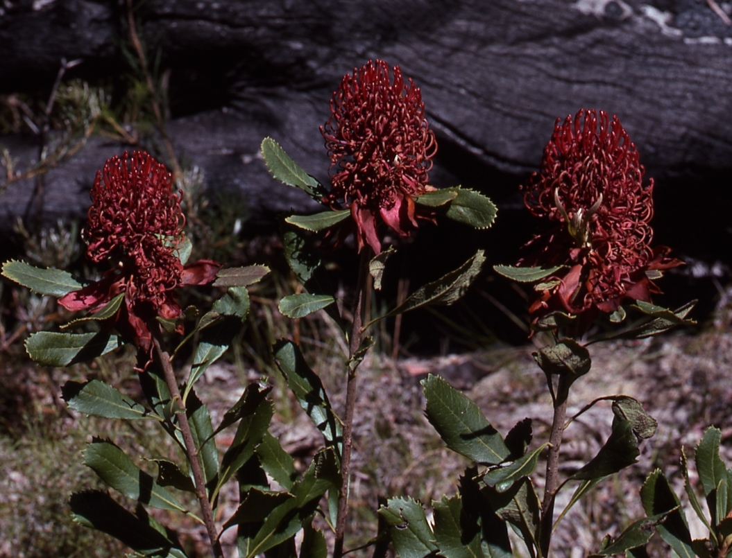 Website photo 1978 12B - Waratah.jpg