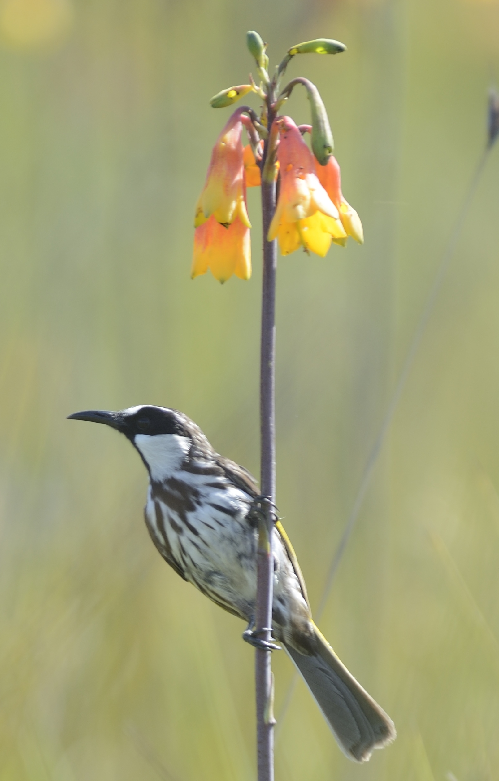Research subjects near Pt Macquarie, NSW: White-cheeked Honeyeater nectaring at Christmas Bells (Blandfordia grandiflora)
