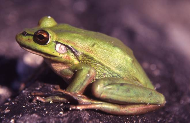 Endangered Green & Golden Bell Frog (Litoria aurea) on Broughton Island, NSW