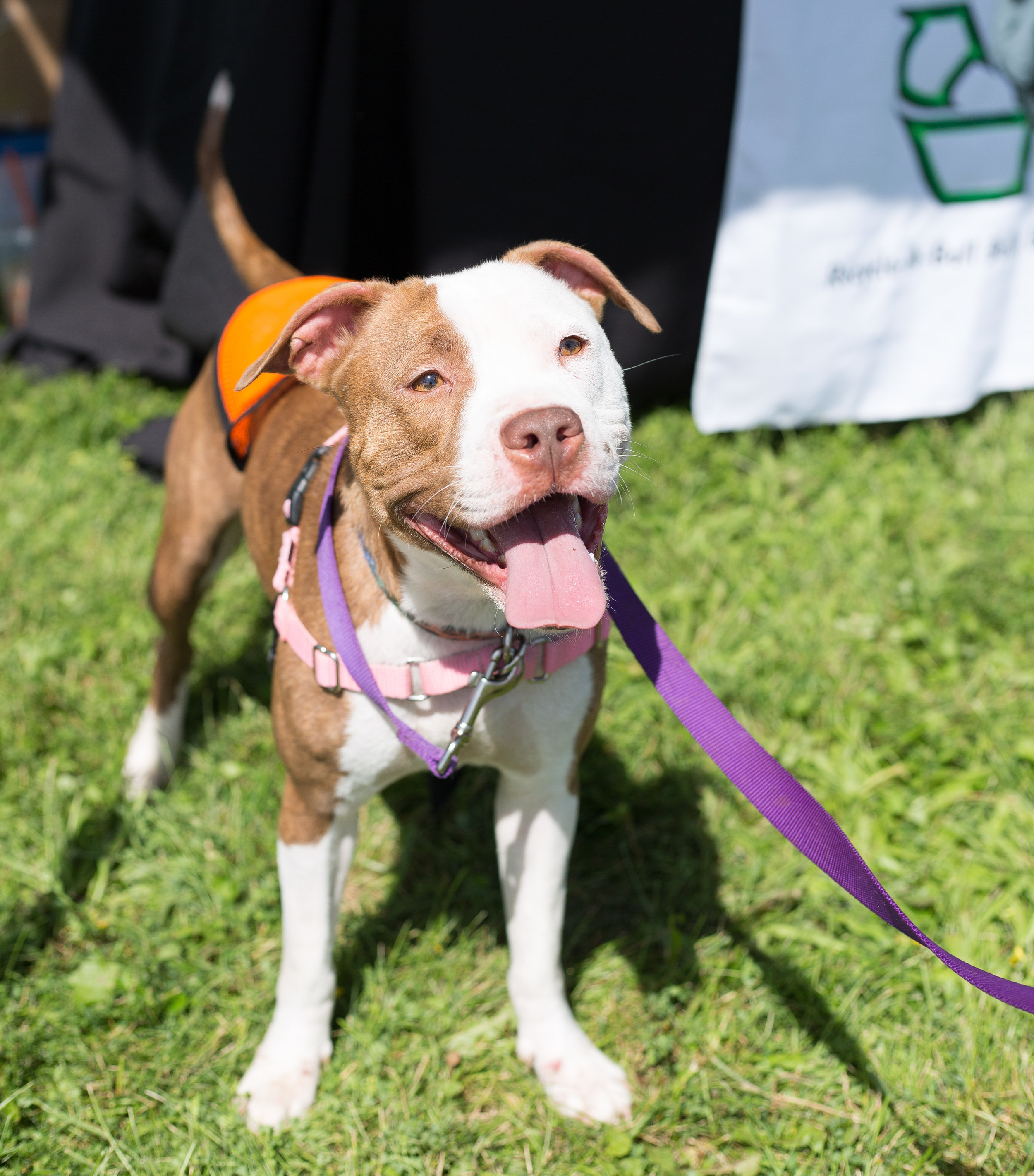 Prim from  Recycle-A-Bull Bully Breed Rescue