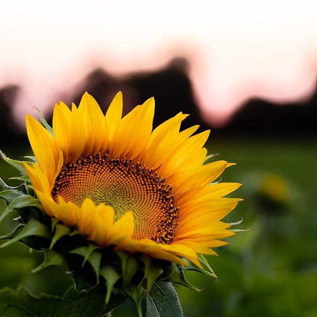 Sunflower season is here!