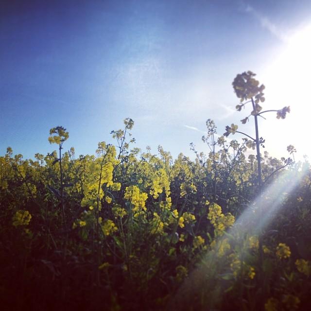 8e043188ffd3557a-cotswolds-yellow-rapefield-sunshine.jpg