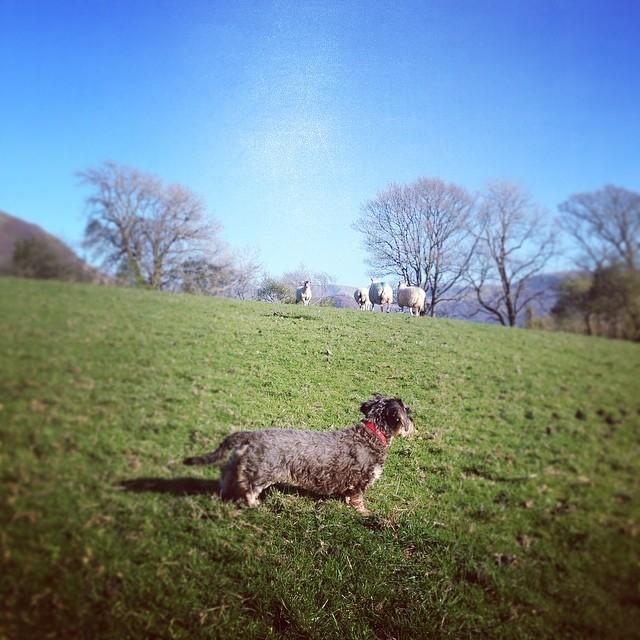 79c3b1a09be3aa43-lola-sheepdog-ennerdale.jpg