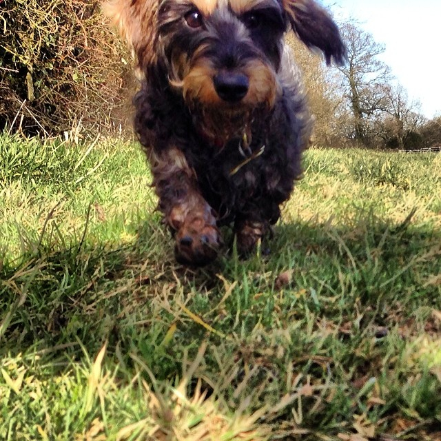 93d2fe68447e5847-stowonthewold-broadwell-cotswolds-countryside-british-dachshund-wirehaired-dog.jpg
