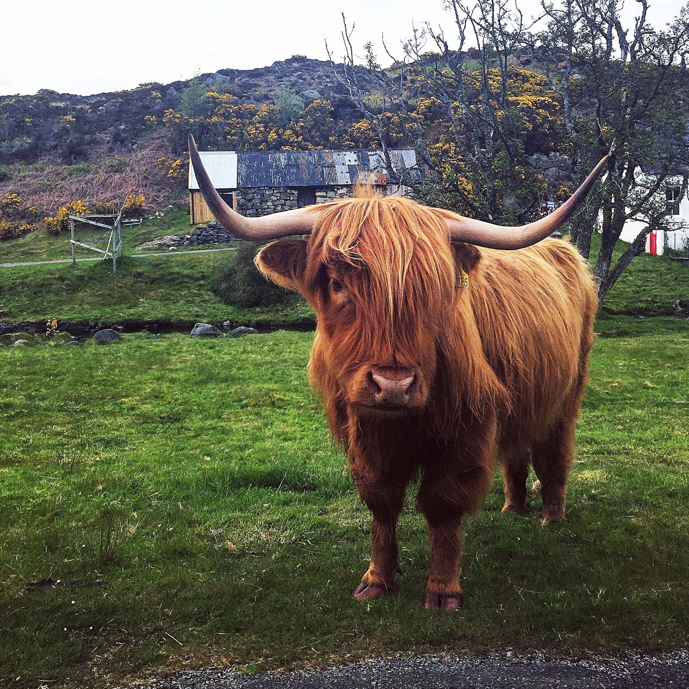 plockton-highland-bull-cow.JPG