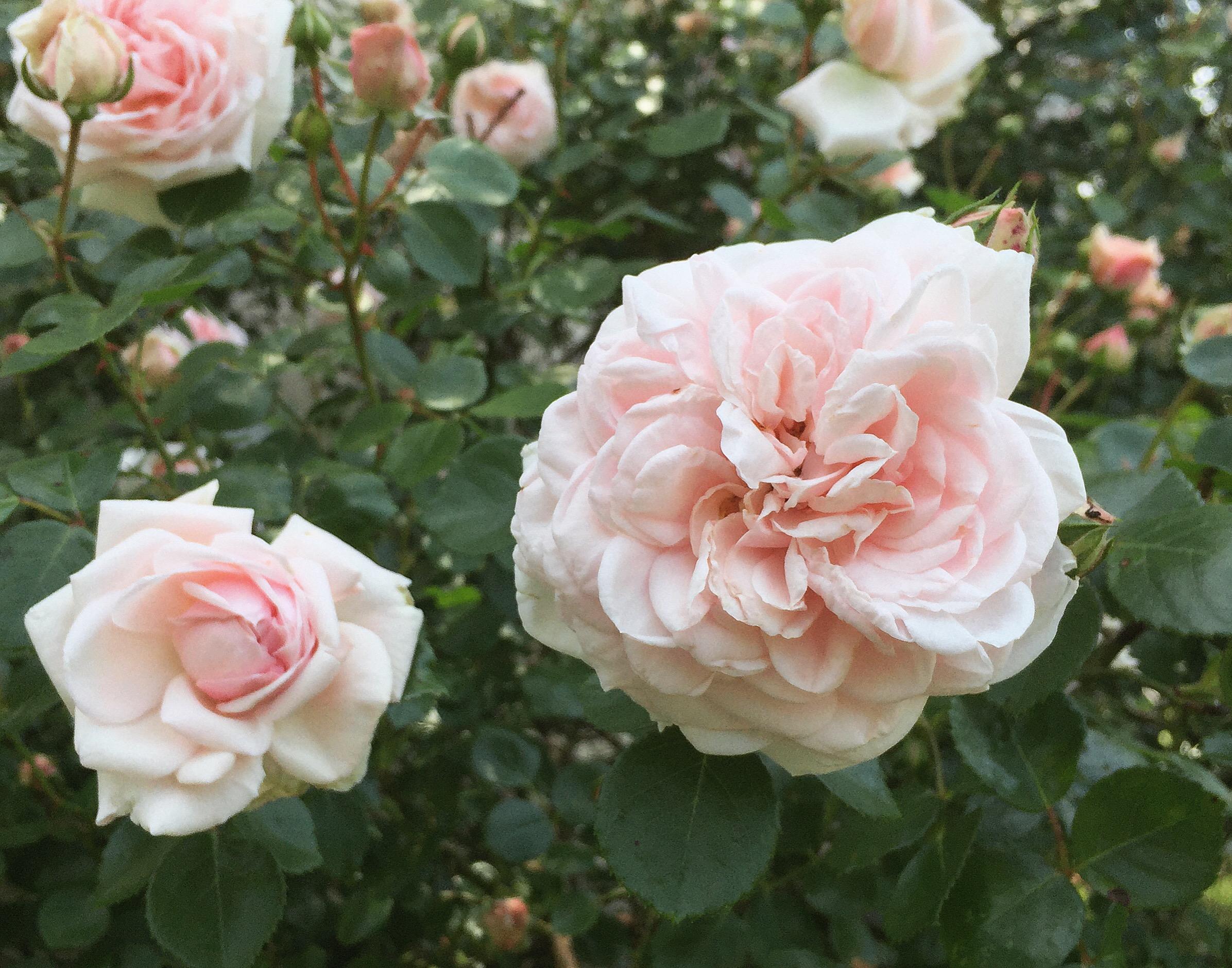 may roses.JPG