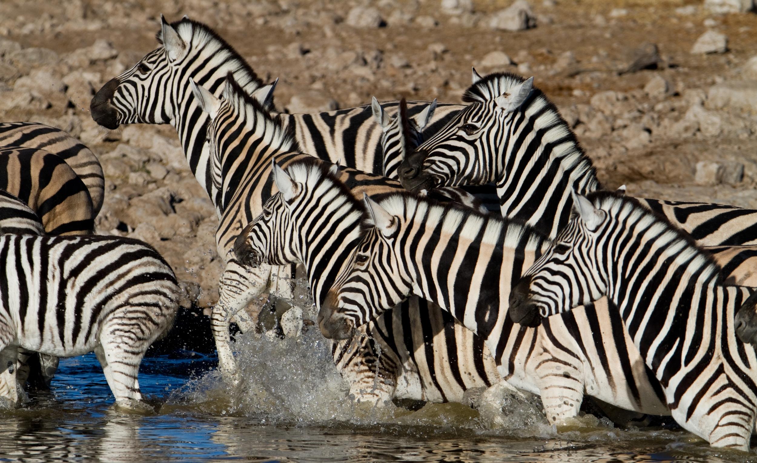 Zebra Bath.jpg