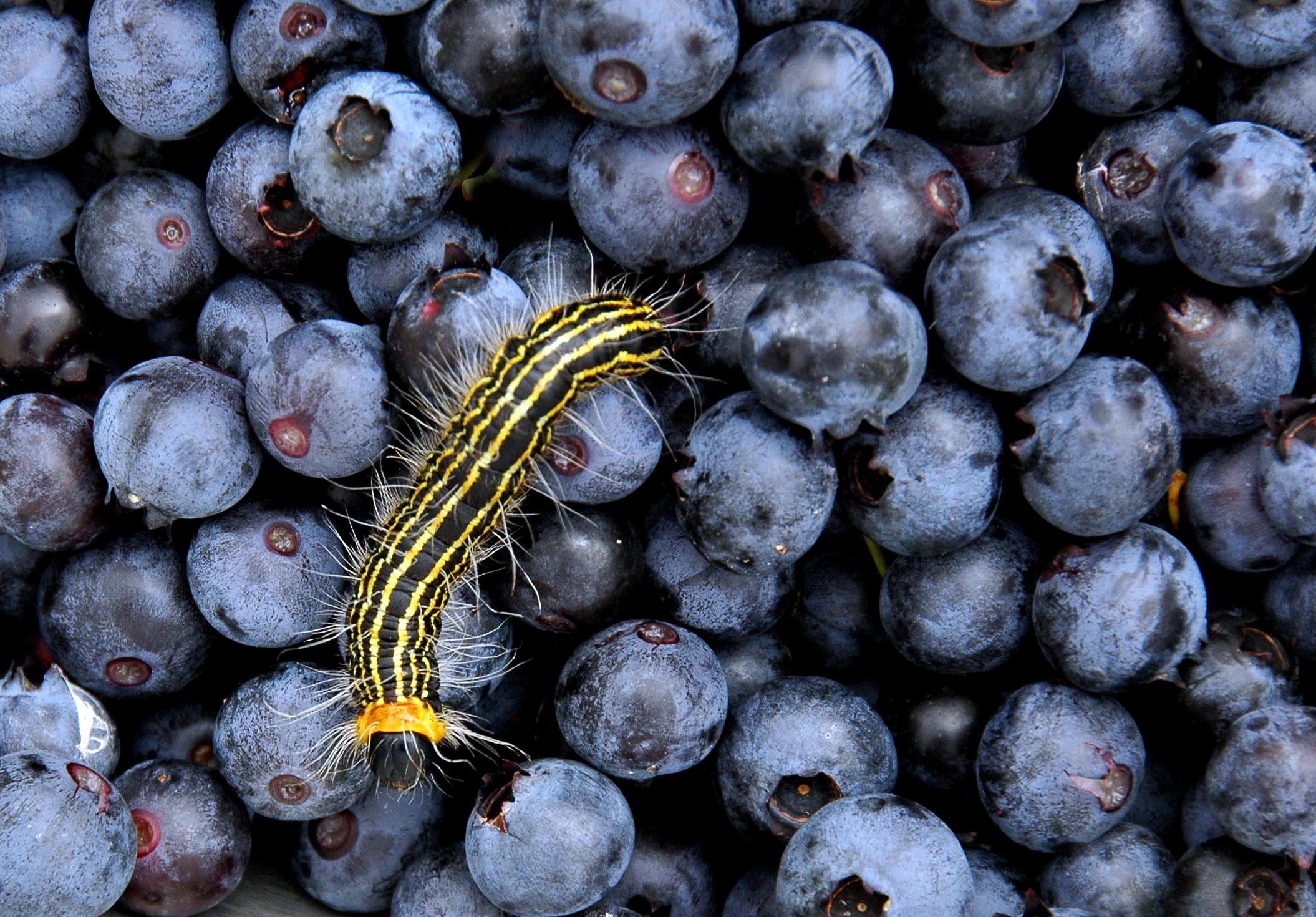 blueberrycaterpillar.jpg