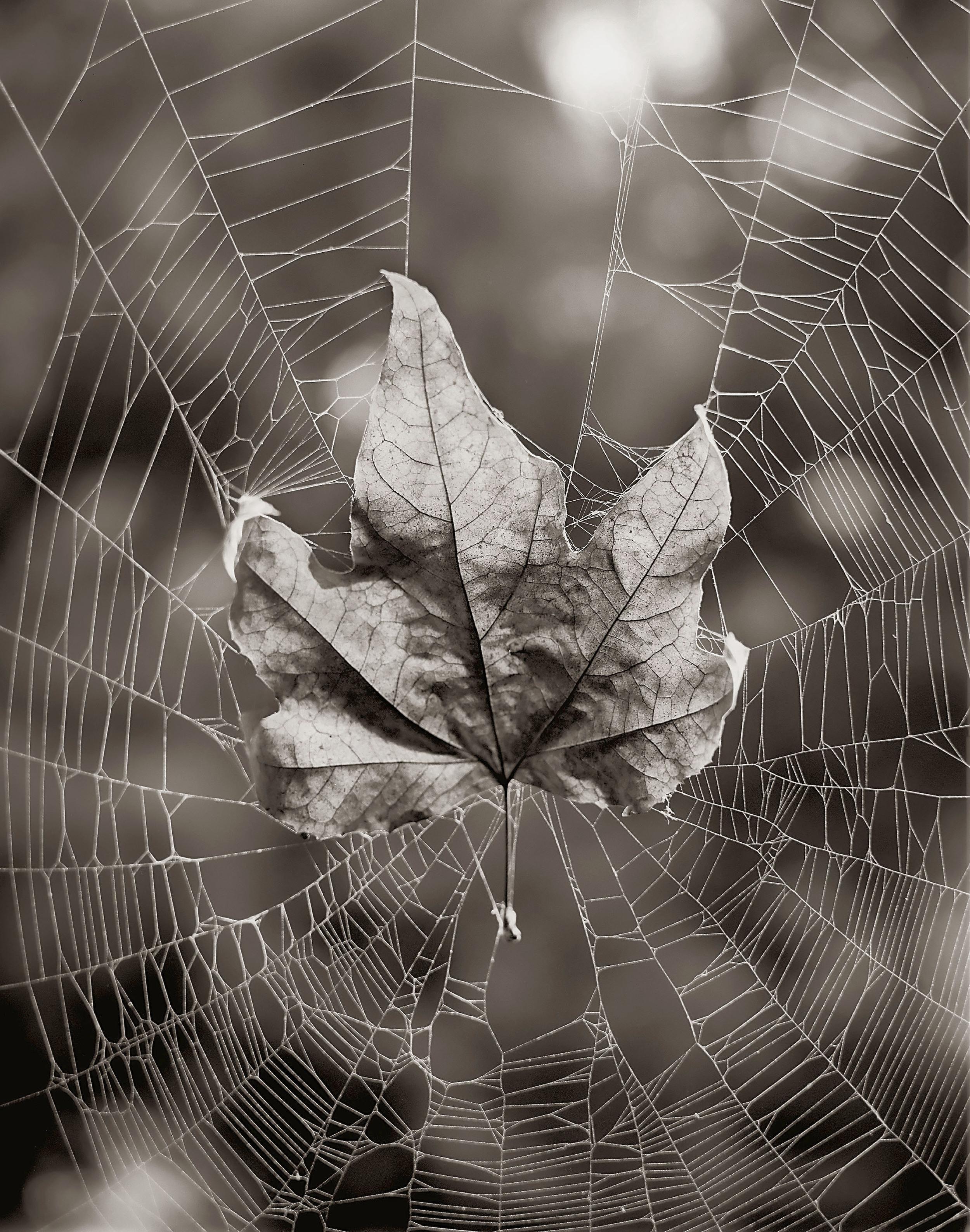 spiderntree.jpg