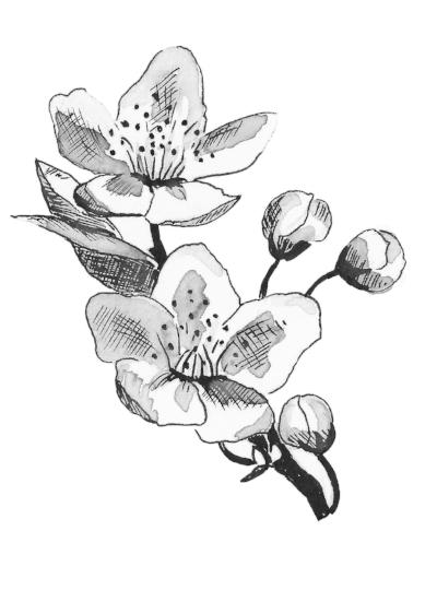 Pear Blossom - Tree Seeds Illustrations