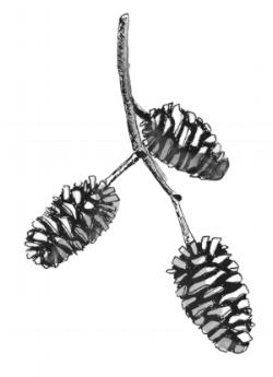 Alder - Tree Seeds Illustrations