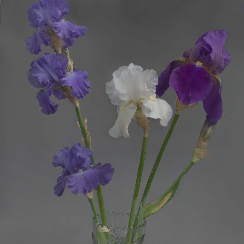 Iris Blue White and Purple