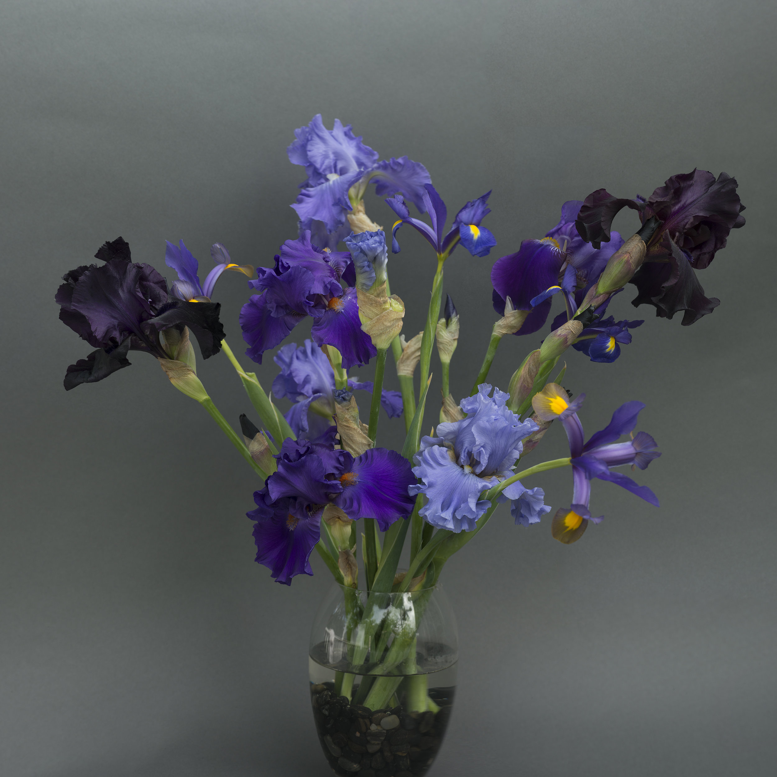 Iris Purple Blue Yellow