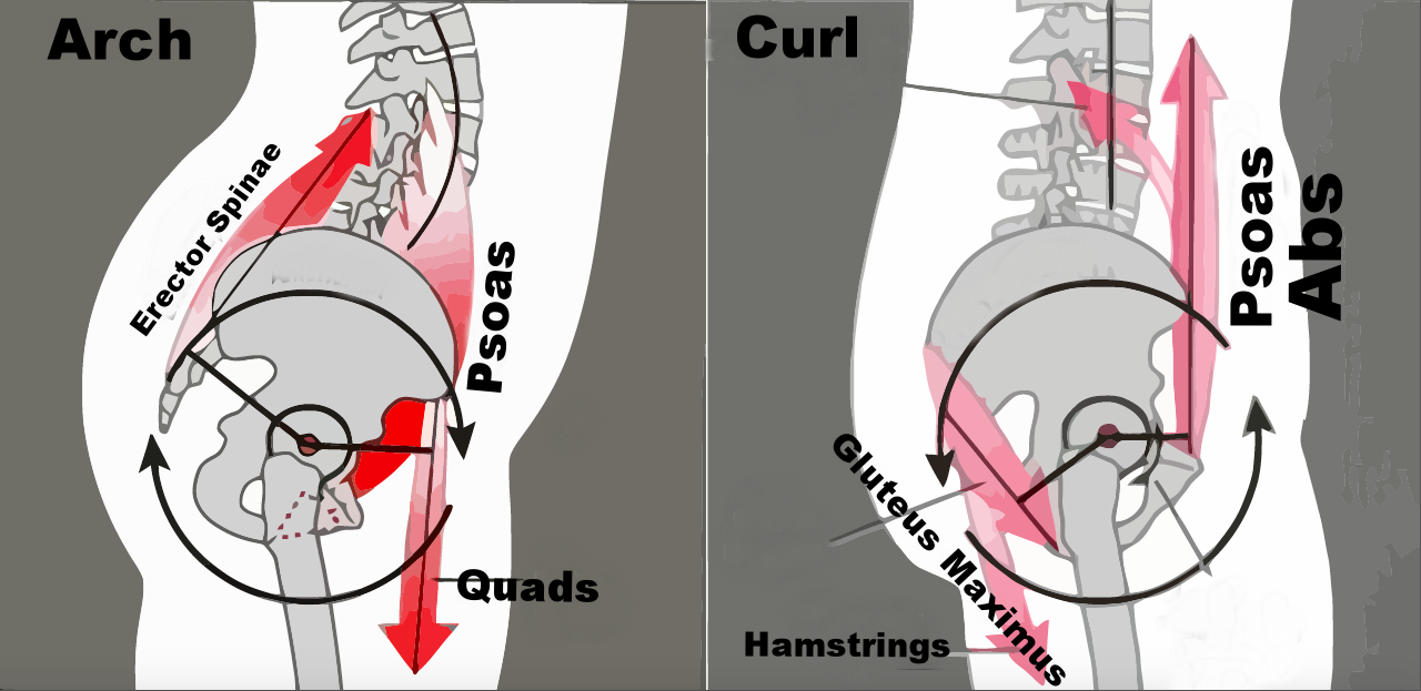 Schematic representation of some of the musculature around the pelvis that is utilized for the GYROTONIC basic, seated Arch and Curl movement. Notice the involvement of the core muscles, psoas, as well as muscles of the legs all of which are used to maximize mobilization of the pelvis and spine.