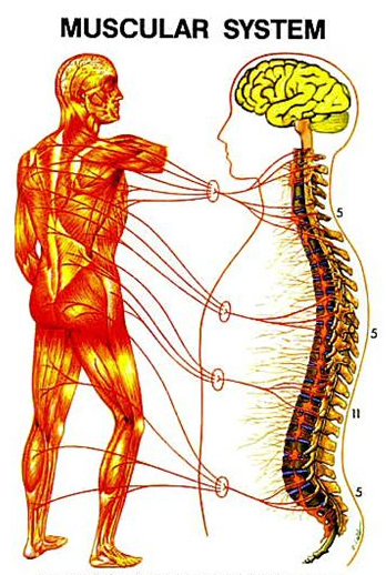 Voluntary, or intentional movement originates in the cortex of the brain. Involuntary movement, may not involve the brain at all. Instead reflex loops may be mediated by the spinal cord and nerves in close proximity of the muscle.