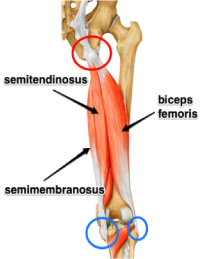hamstring anatomy pic 1 .png