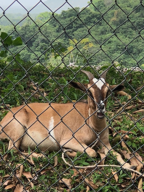 Goats were abundant in Haiti, but I only saw one with a heart on his forehead. He was lounging behind this fence as we climbed the mountain. Another reminder of God's love.