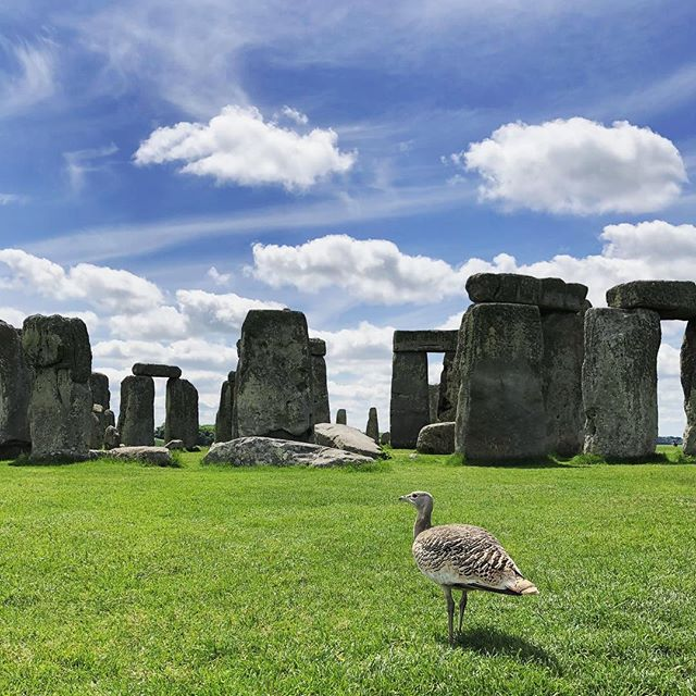 A lone bustard is seen roaming Stonehenge during our visit. A ranger said that she's seen that bird come around very often and is most likely from a nearby bustard farm. One of the best known ancient wonders of the world, it receives well over a million visitors a year. It became a World Heritage Site in 1986 and to this day, it is still uncertain as to why it was built.