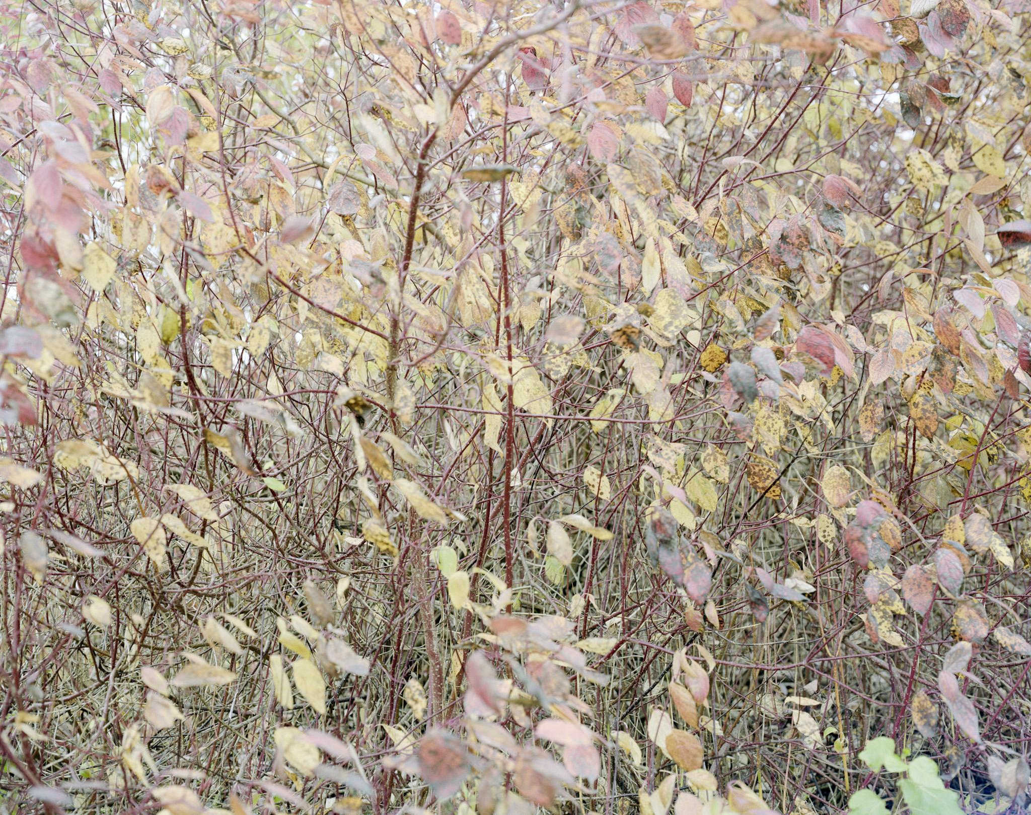 Sibirkornell i høstfarger