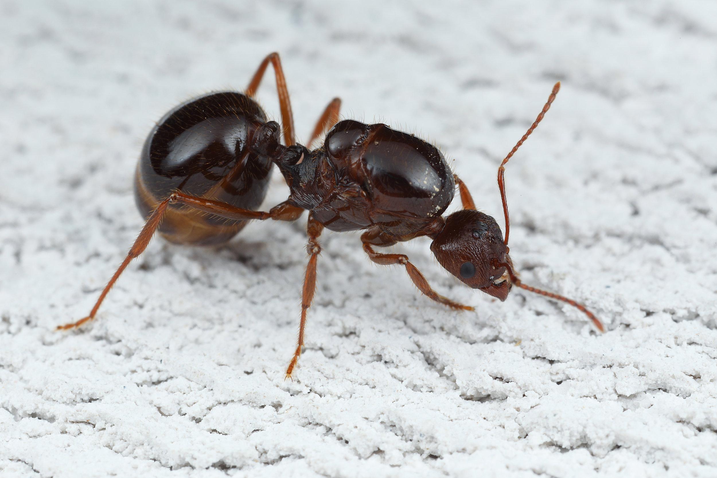 Aphaenogaster longiceps queen.jpg