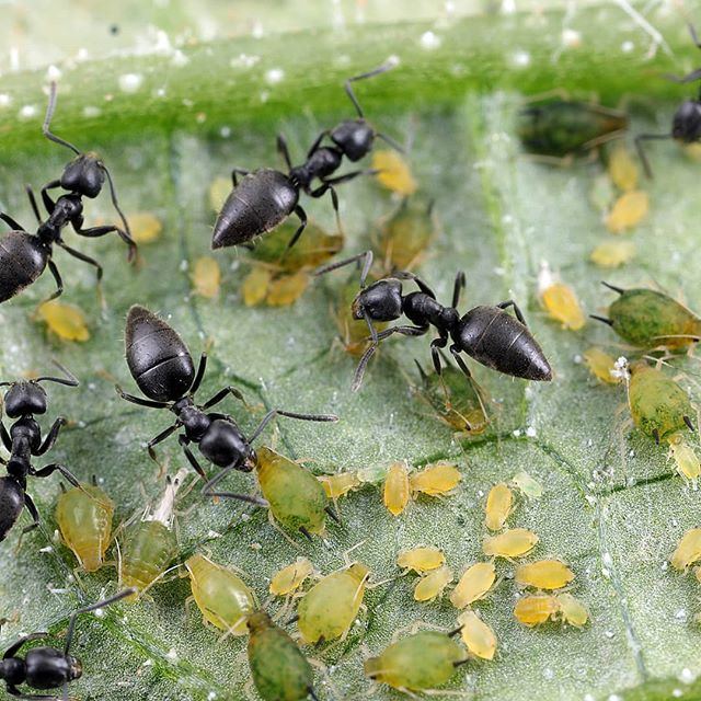 Ants are known to herd or farm other insects to eat their sugary secreations. . . . In this photo, tiny Technomyrmex ants protect these even smaller aphids from predators. . . .