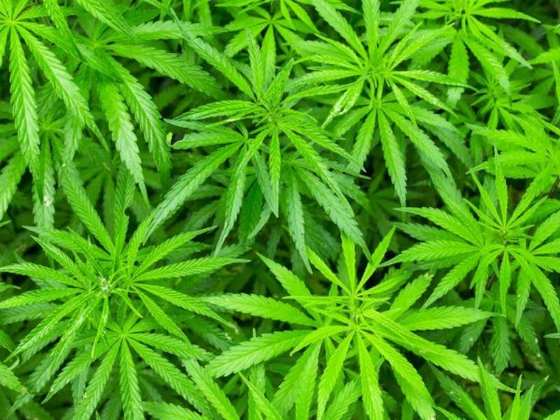 le-cannabis-ferait-pousser-la-poitrine-des-hommes.jpeg