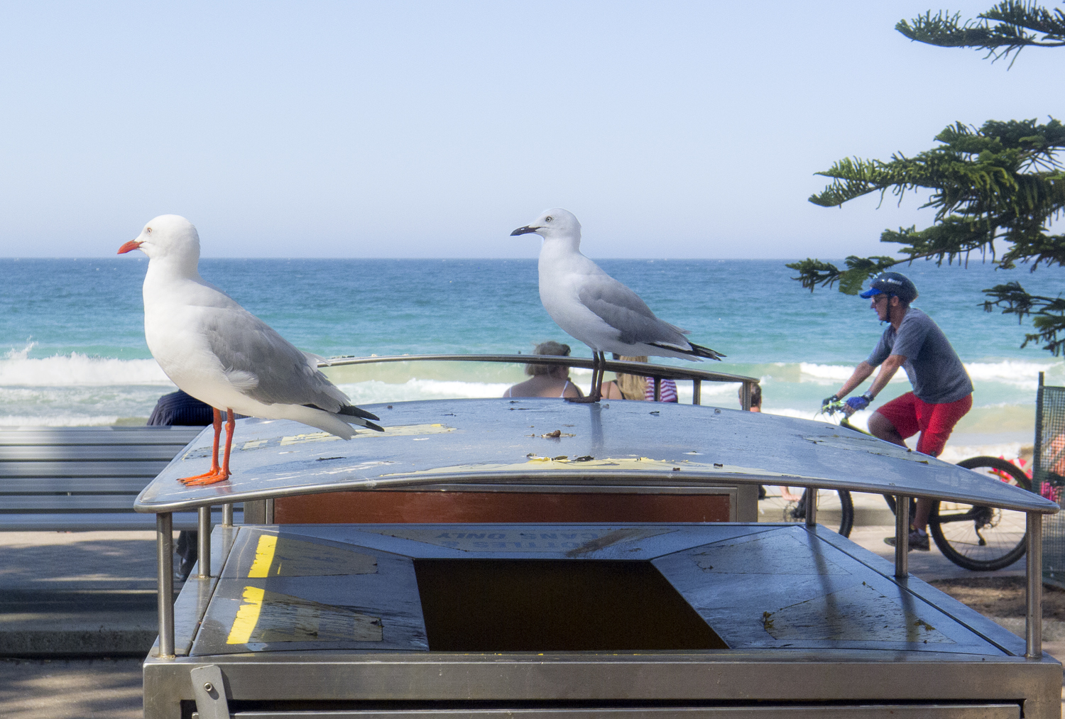 These aggressive gulls later tried to steal my sandwich.