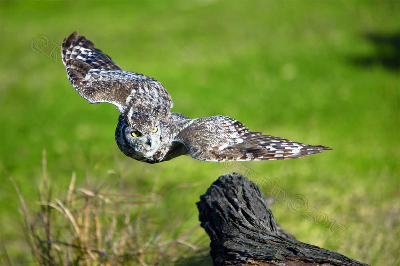 2FDI9304 owl edit©.jpg