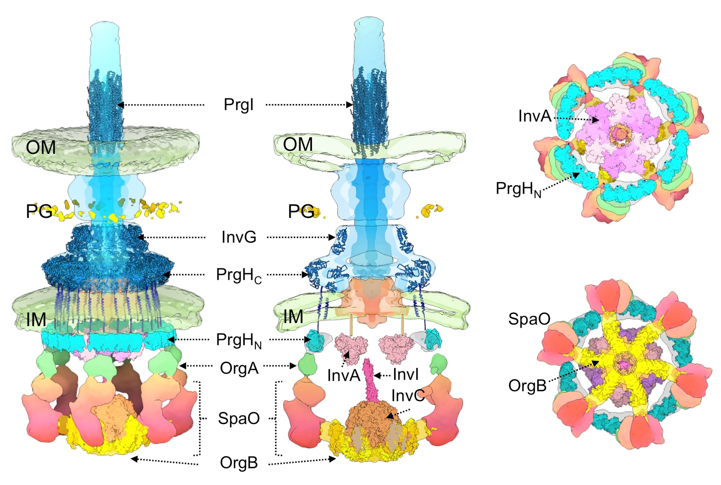 Fig. 1.   Molecular model of the organization of the entire T3SS machine  in situ .  The available (or modeled) atomic structures of different components have been fitted into the structure. The location of the outer membrane (OM), inner membrane (IM), and peptidoglycan (PG) of the bacterial envelope are indicated.
