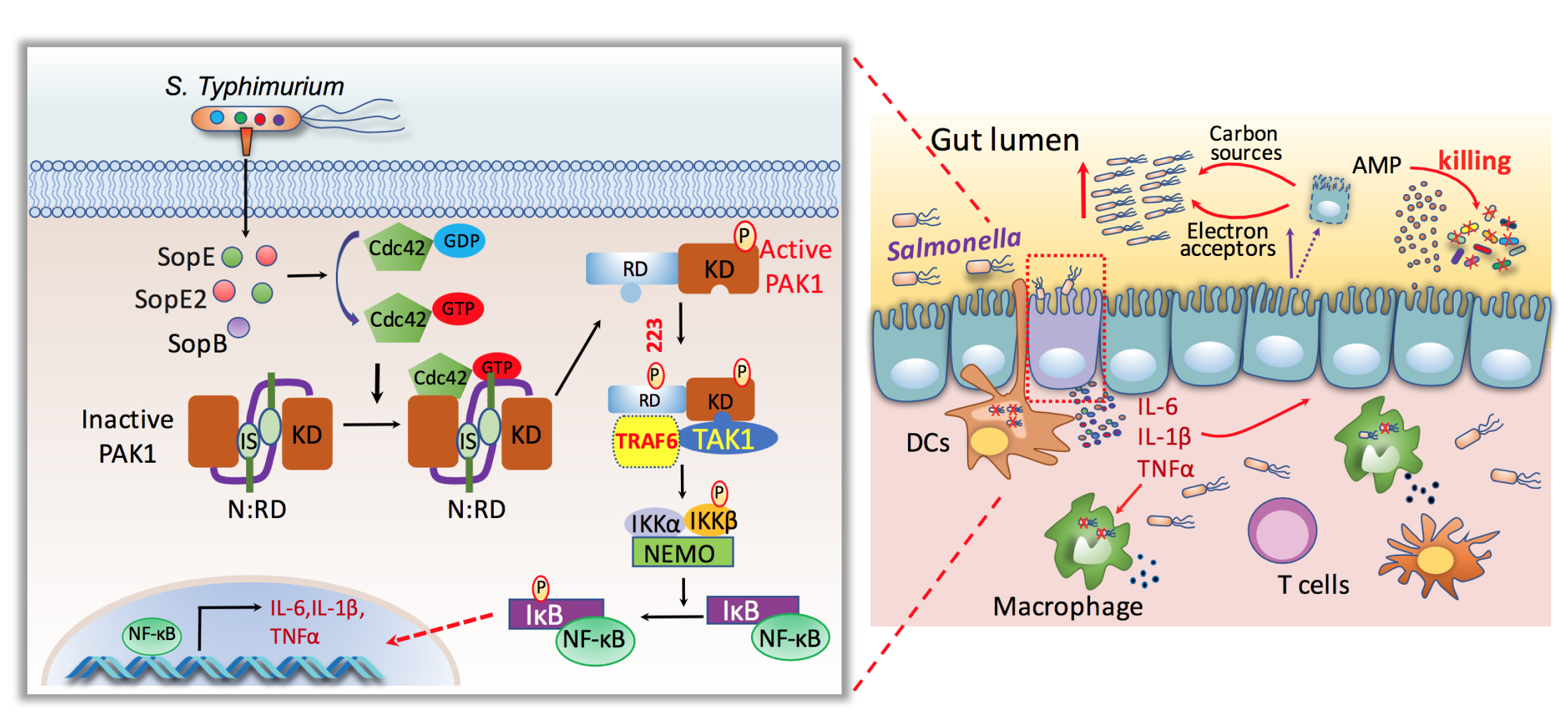 Fig. 2. Model for the interaction of  Salmonella  with the intestinal epithelium.  Through its type III secretion system encoded within its pathogenicity island 1,  Salmonella  delivers the effector proteins SopE, SopE2, and SopB, which in a functionally redundant manner activate Cdc42. Activation of Cdc42 leads to the formation of a PAK1/TRAF6/TAK1 complex, the phosphorylation of PAK1 at Ser223, and the subsequent activation of NF-κB and production of pro-inflammatory cytokines. The ensuing intestinal inflammation allows  Salmonella  to out-compete the resident microbiota and replicate within the lumen of the intestinal tract. At the same time, the inflammatory response controls the spread of  Salmonella  to deeper tissues.