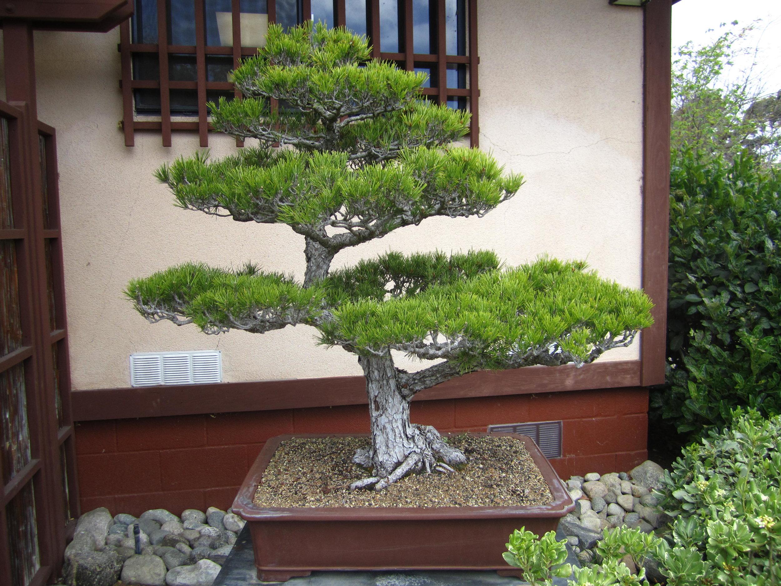 6. Japanese Black Pine