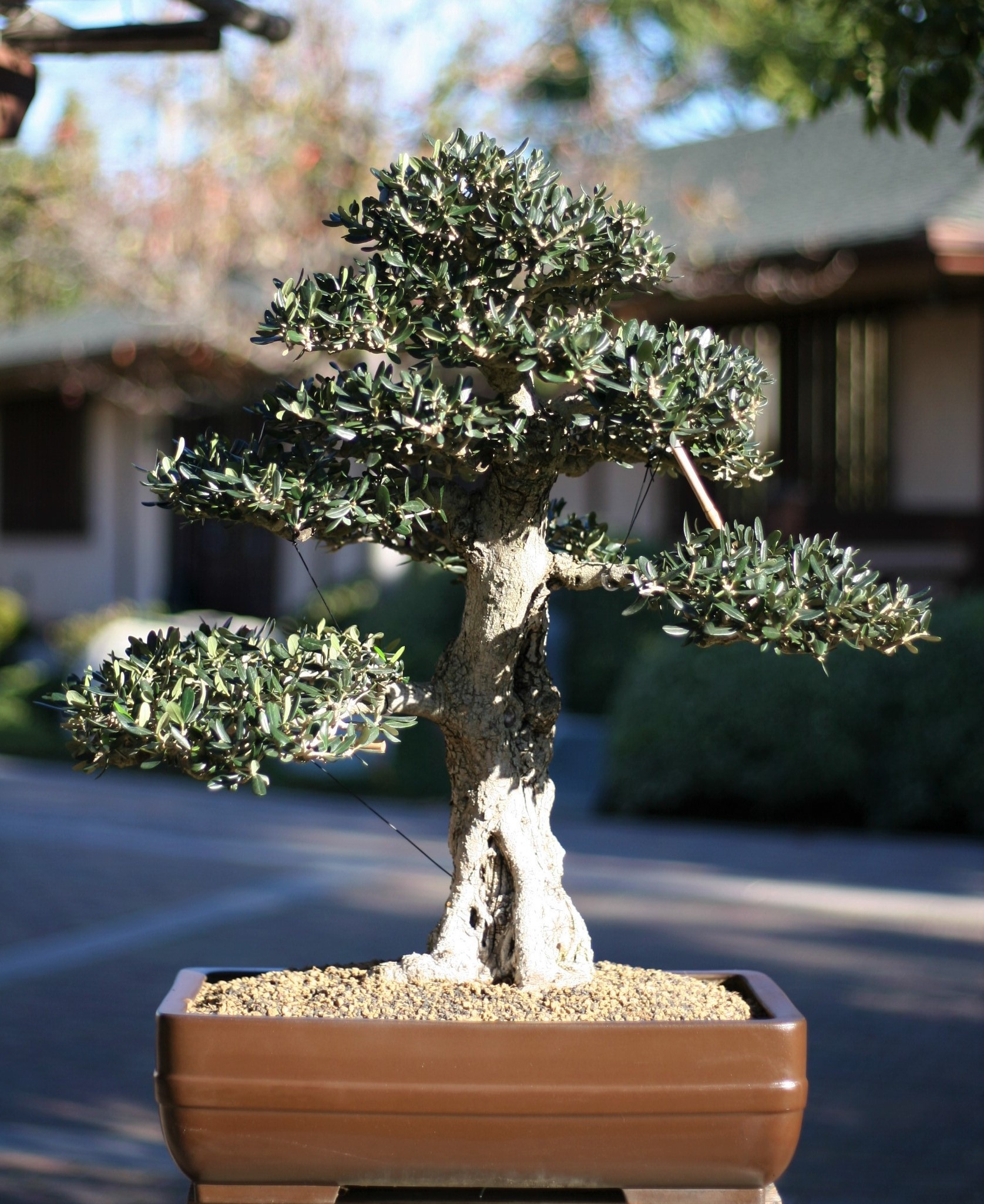 13. European Olive