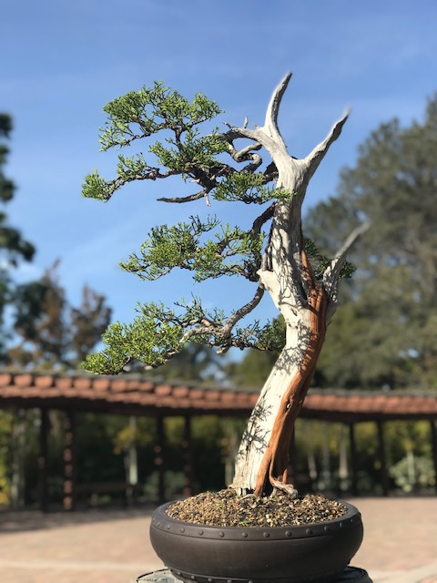 19. California Juniper