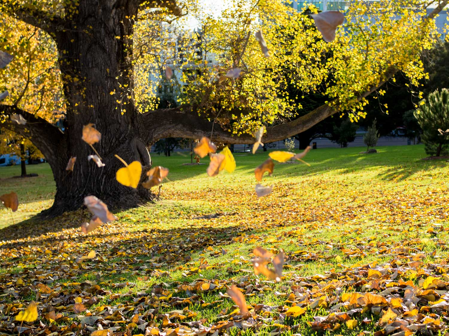 Falling Autumn leaves in the Botanical Gardens, Melbourne.