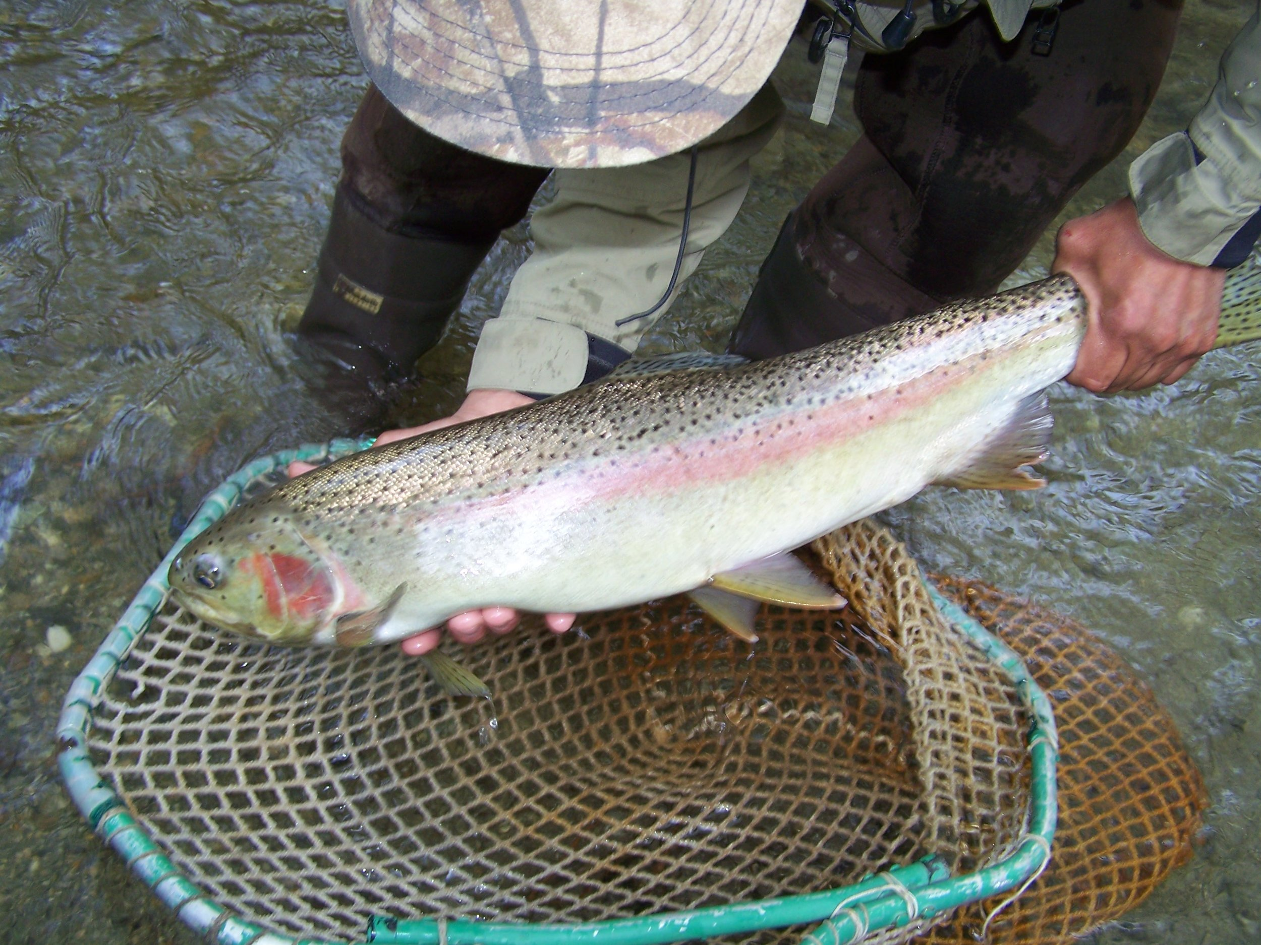 female steelhead arnold1.jpg