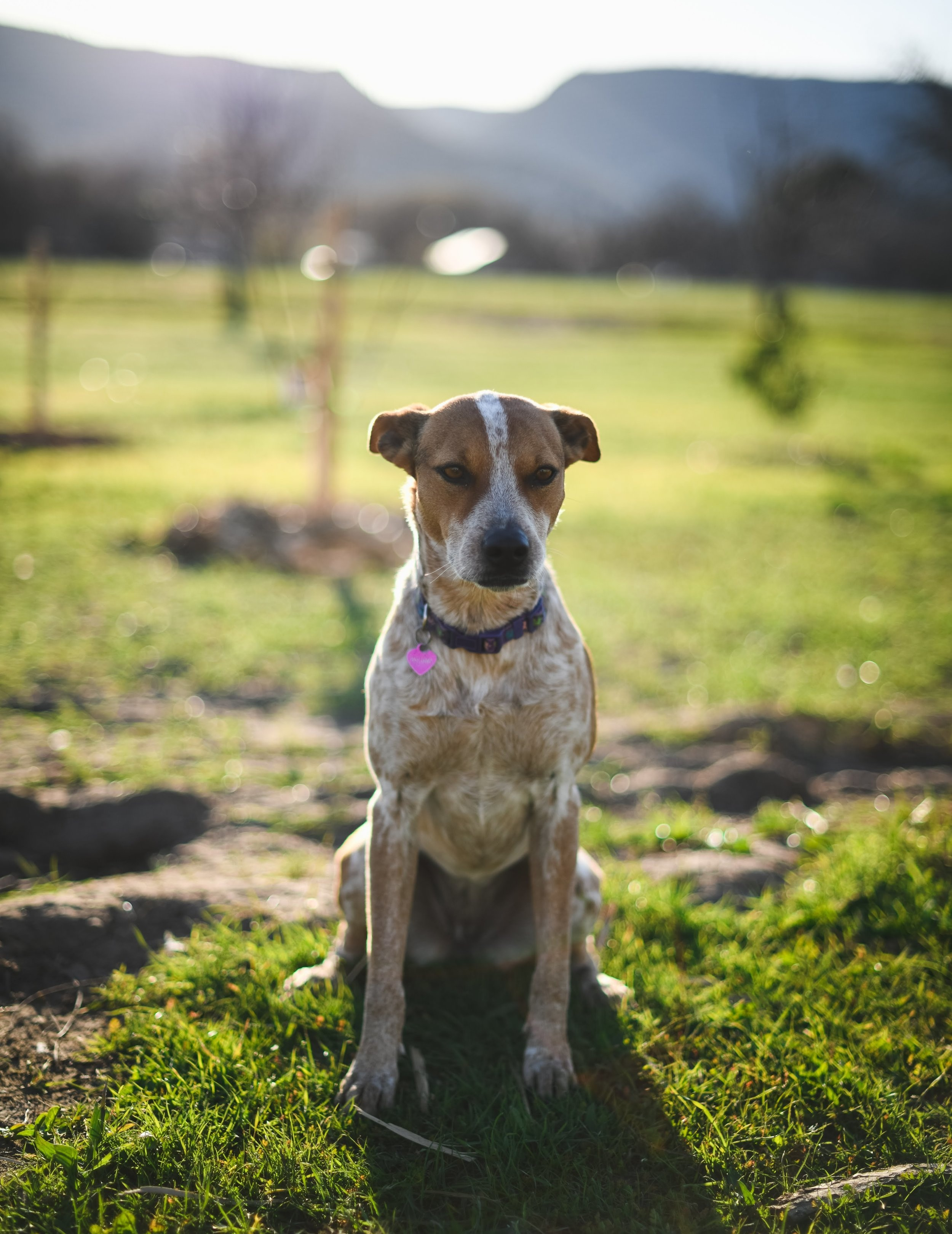 Akuna - No farm is complete without a couple farm dogs. Akuna is the farm's Heeler/Hound mix who can outrun any jack rabbit and protects the farm.
