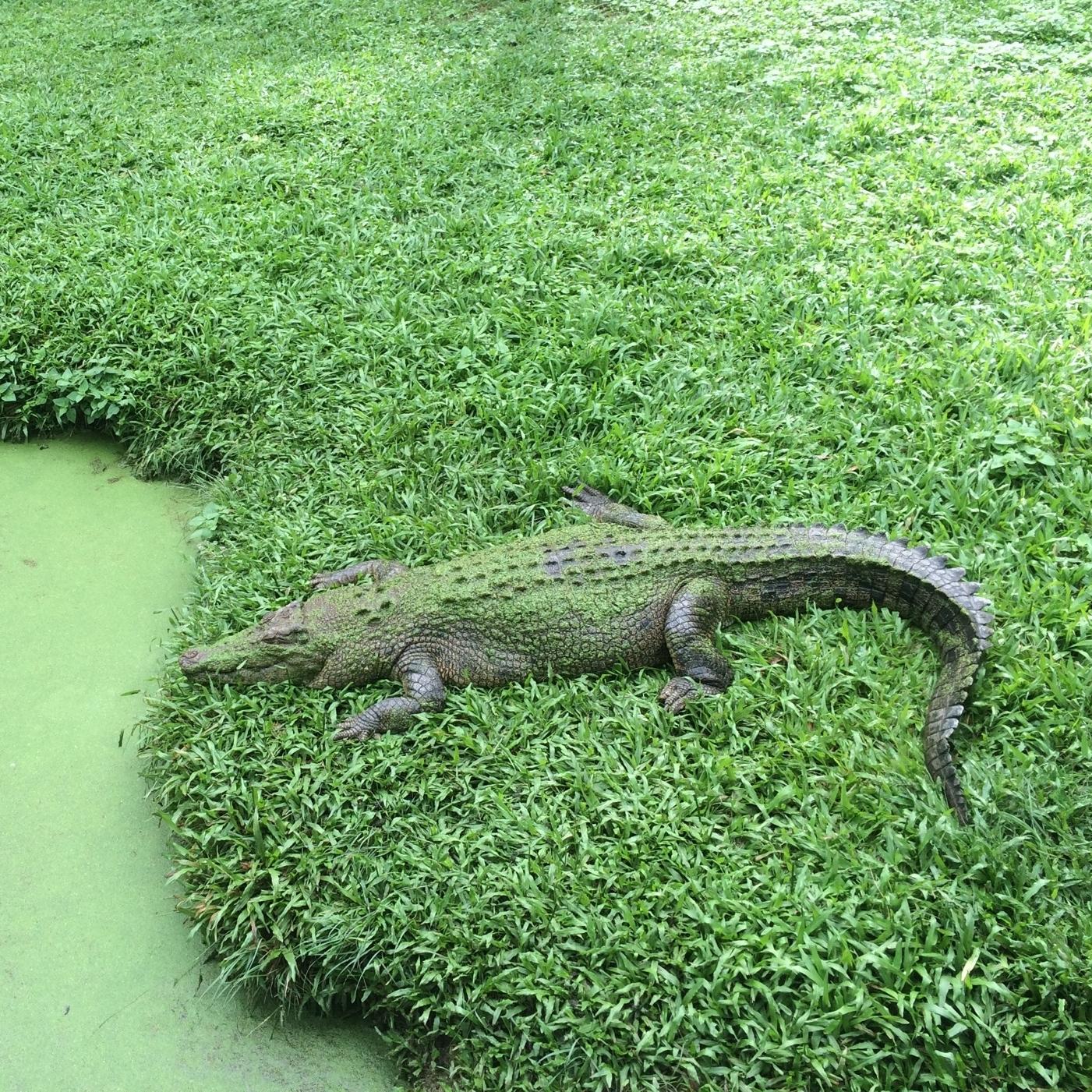 Crocodile, David Fleay Wildlife Park, Surfer's Paradise by Miles Dean for The Doubtful Traveller