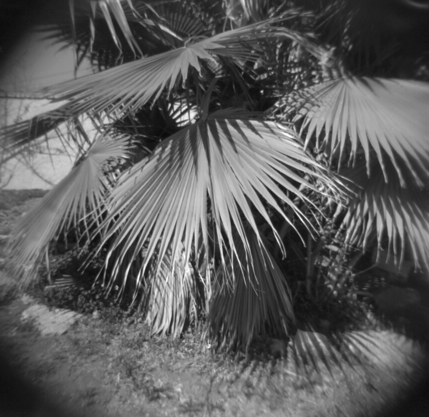 Sunland Palm Tree