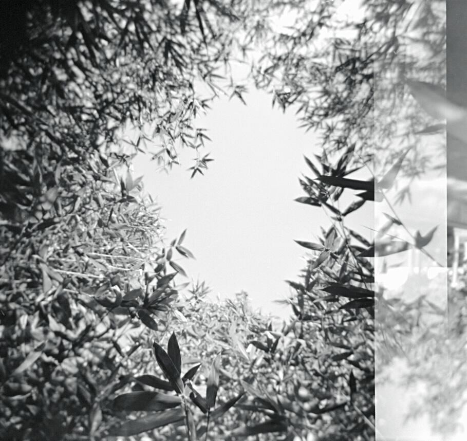 Bamboo at Exposition Park, July 2012   Holga, Tri X 400