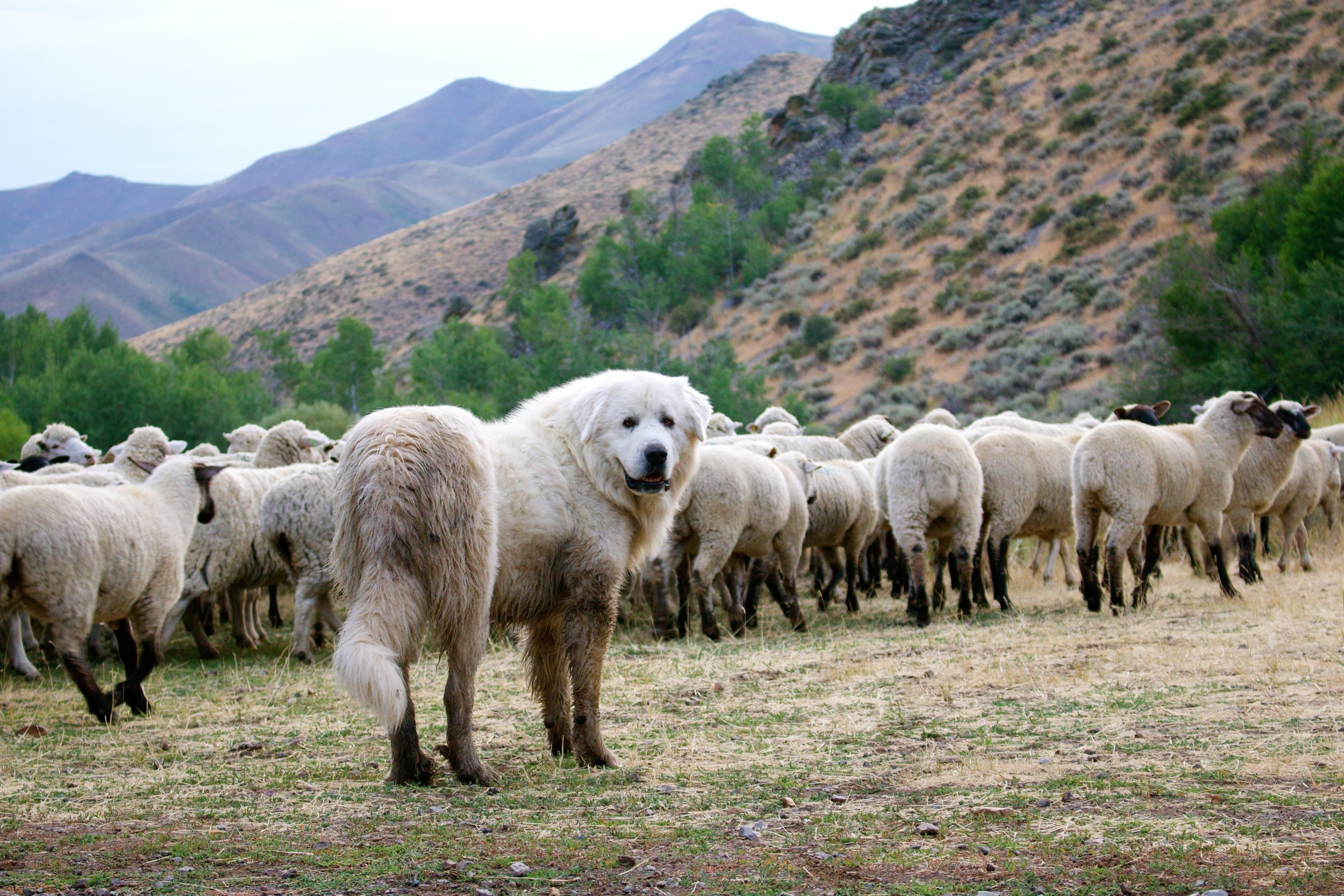 One of the Lava Lake Great Pyrenees guard dogs with a sheep band. Photo: Phoebe Bean