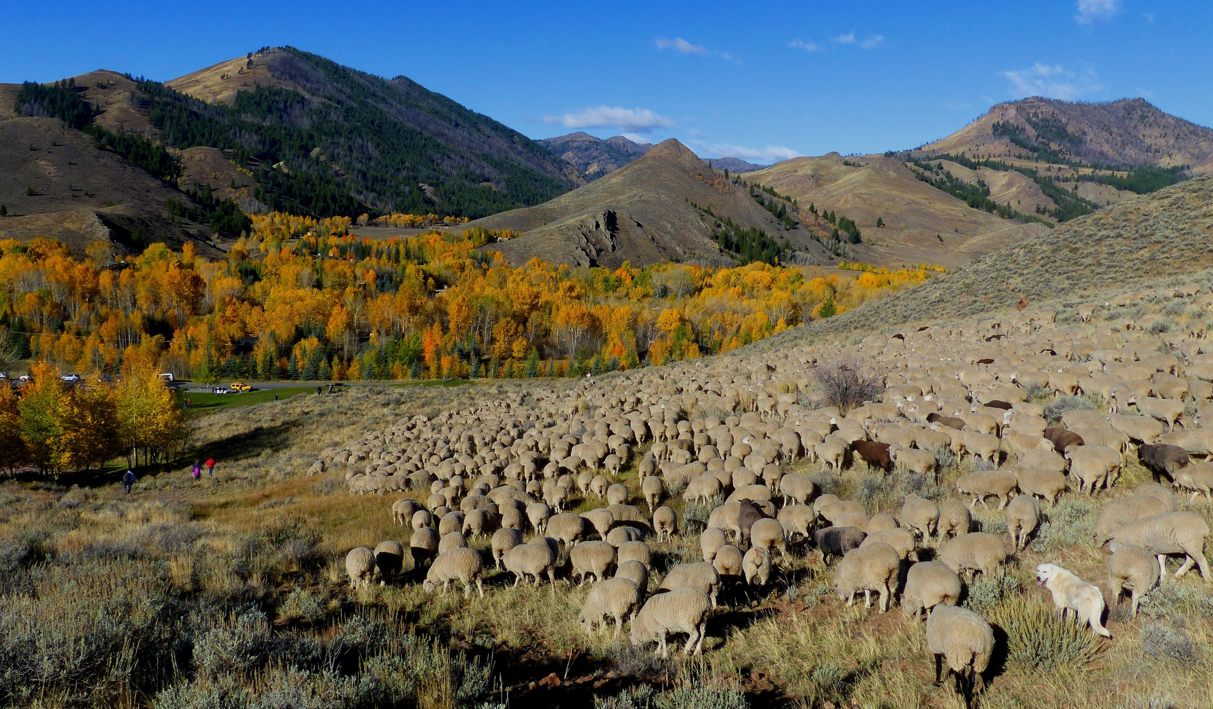 sheep heading down to valley.  Credit Carol Waller 2014.JPG