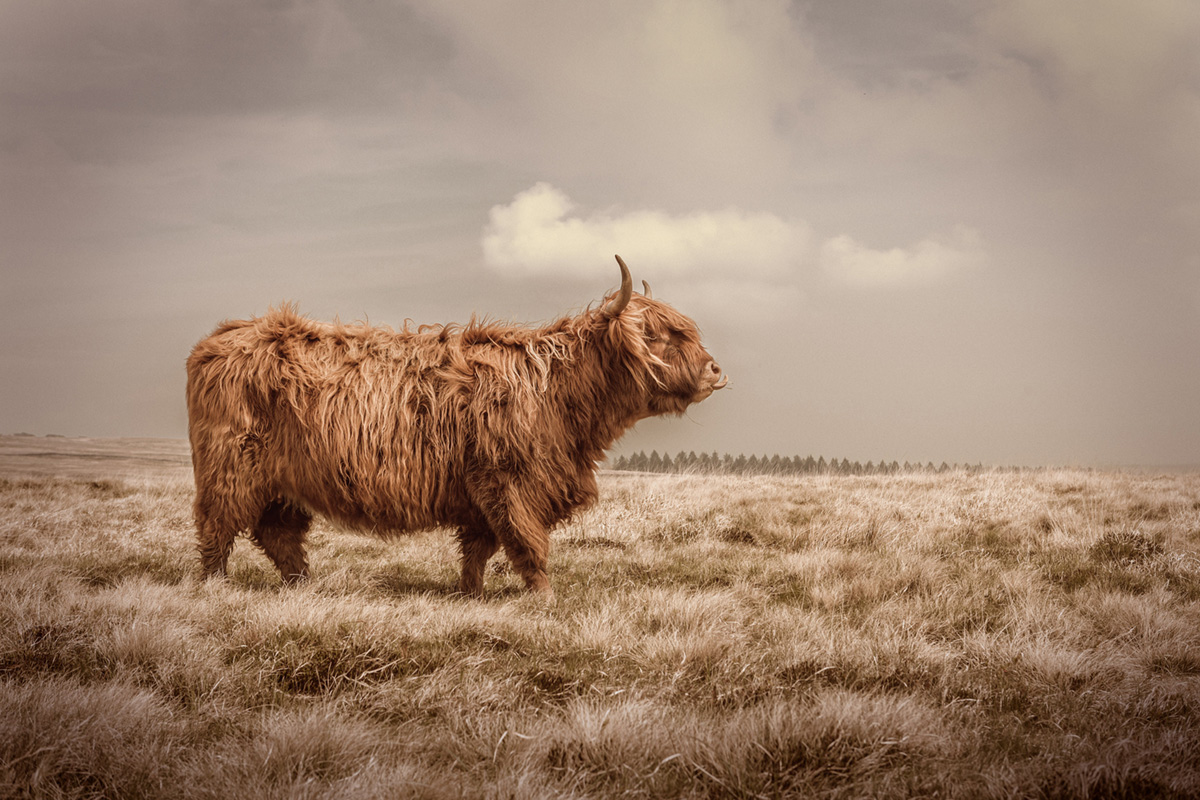 Bull3.jpg