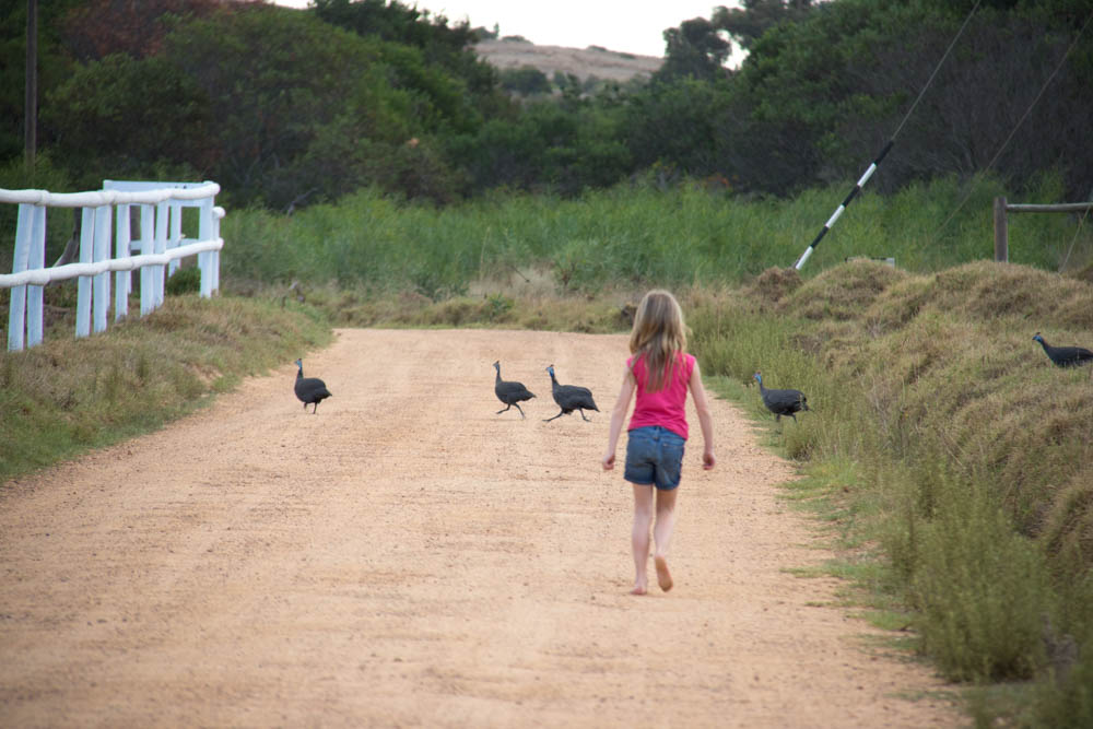 Trying to catch a guinea fowl