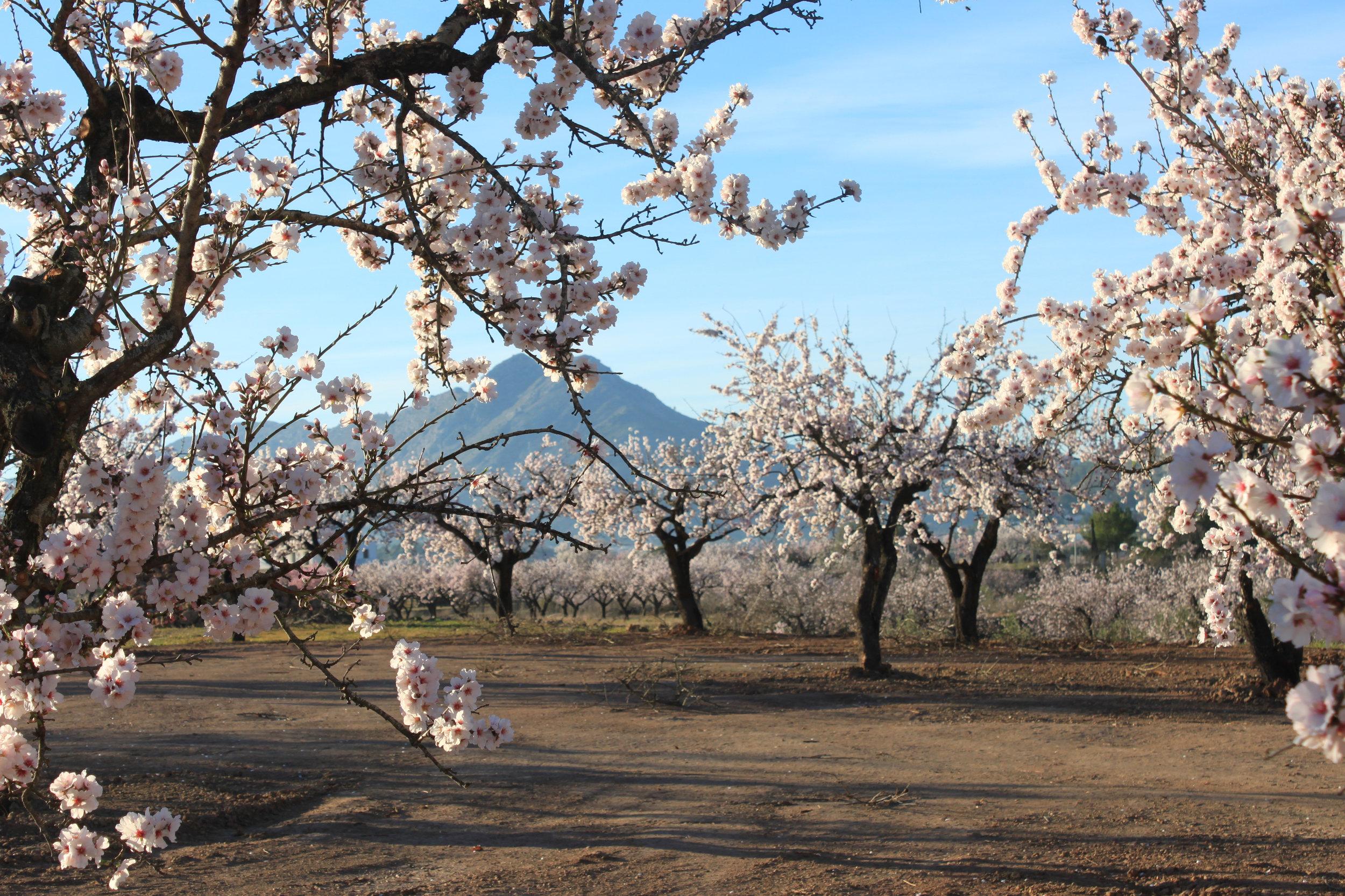 almond blossom (2).jpg