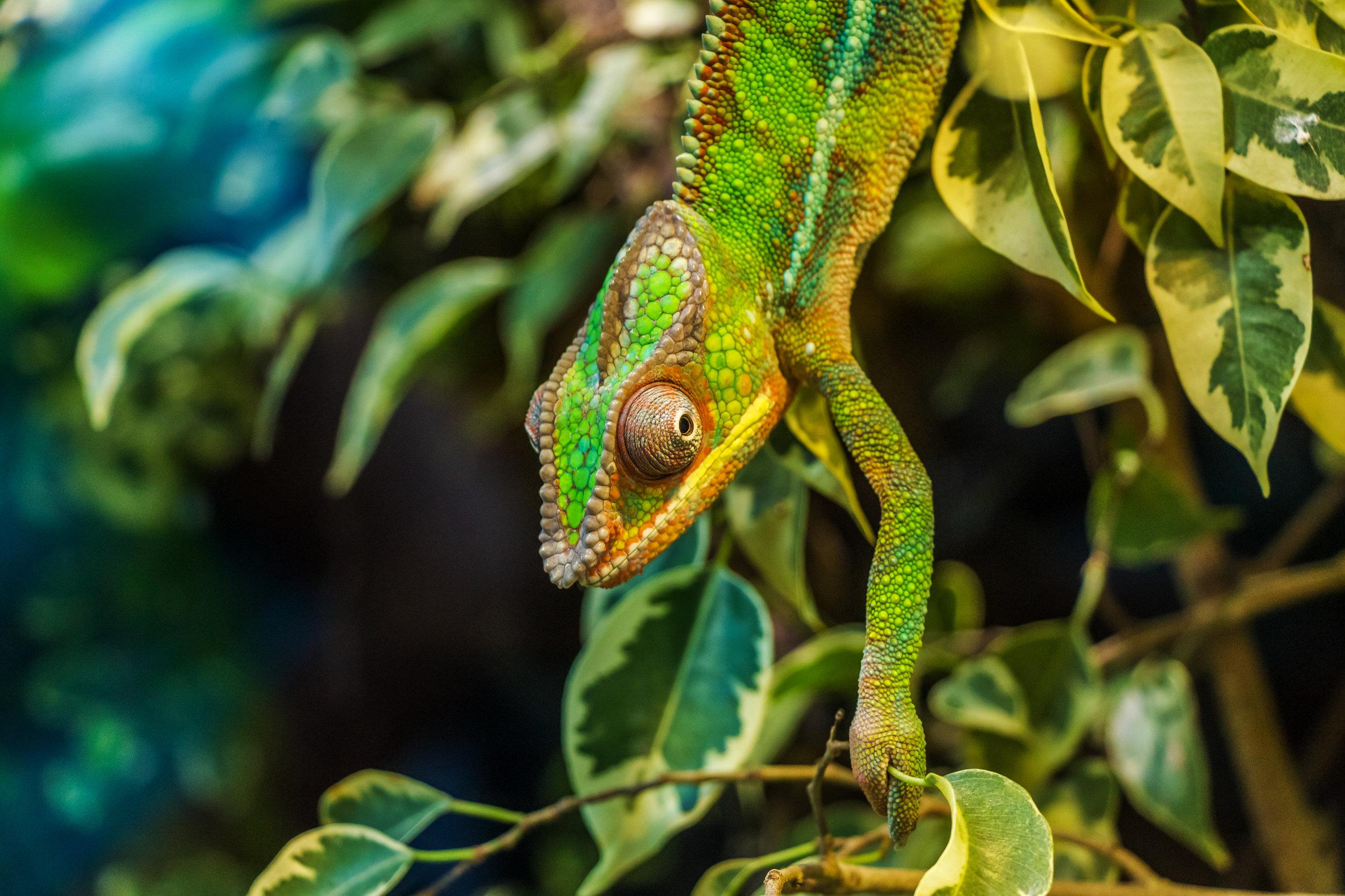 chameleon-384964 (2).JPG