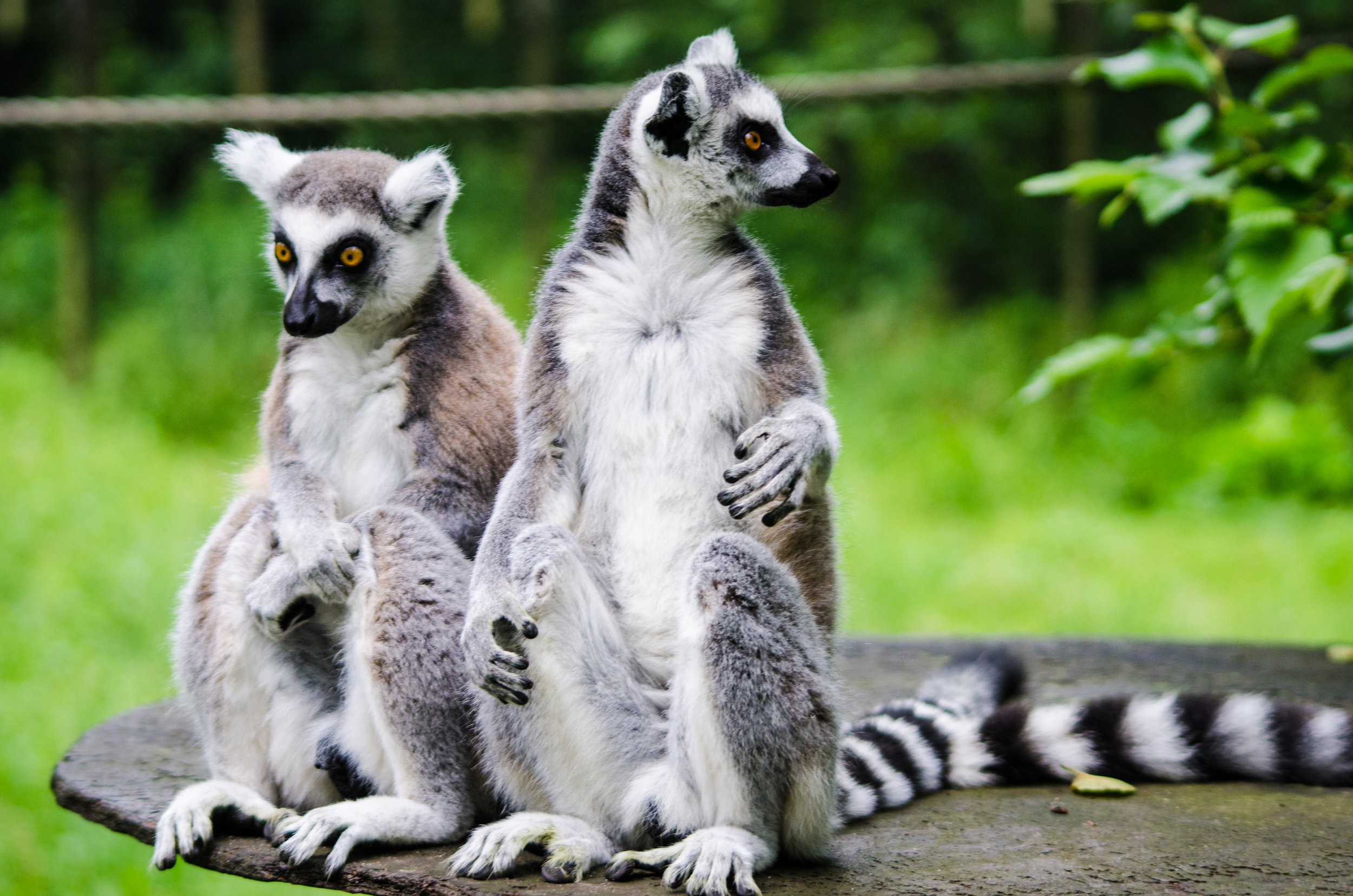 In love with the Ring-tailed lemurs, also to be found in Isola National Park